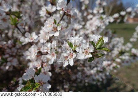 Florescence Of Prunus Tomentosa Bush In April