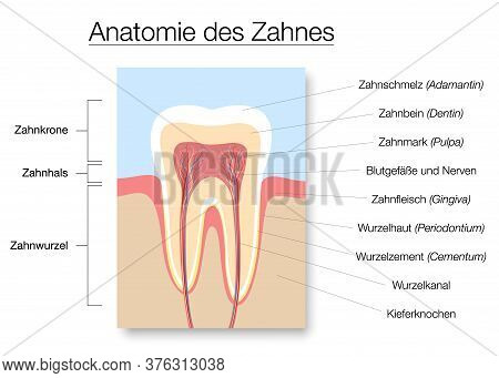 Tooth Anatomy, German Names, Medical Labeled Cross Section Chart With Enamel, Dentin, Pulp, Gingiva,