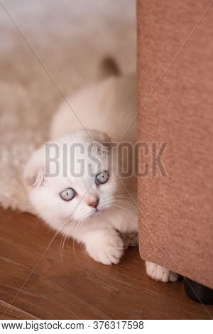 White Kitten With Bright Eyes Looks From Behind The Sofa.