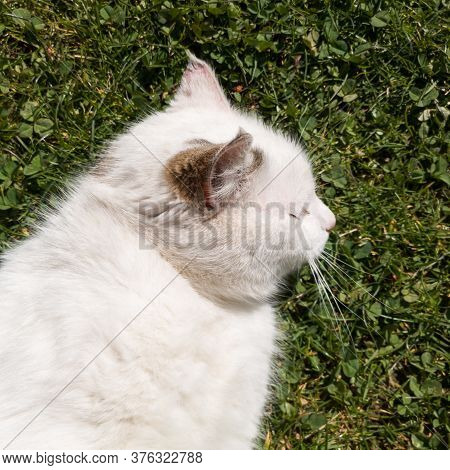 A Spoiled Cat Lies On The Grass And Basks In The Warm Spring Sun During The Day.
