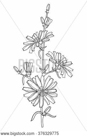 Vector Stem Of Outline Chicory Or Cichorium Flower, Bud And Ornate Leaves In Black Isolated On White