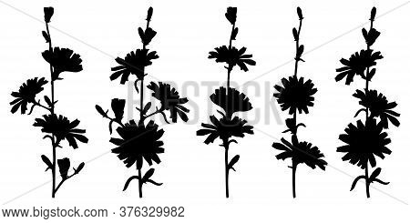 Vector Set Of Chicory Or Cichorium Flower Silhouettes, Bud And Leaves In Black Isolated On White Bac