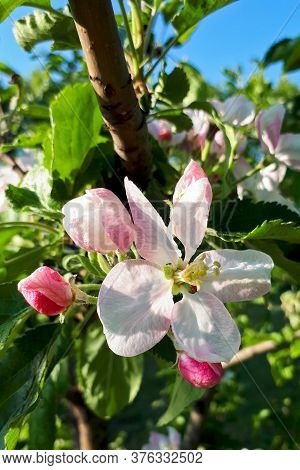 White Flowers And Pink Buds Of An Apple Tree On A Clear Day Close-up, Vertical Photo, Selective Focu