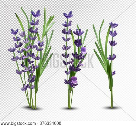 3d Realistic Flowers Lavender With Green Leaf. Collection Bouquet Lavender. Fragrant Lavender On Tra
