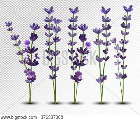 Big Collection Realistic Flowers Violet Lavender. Tender Bouquet Lavender. Fragrant Lavender On Tran