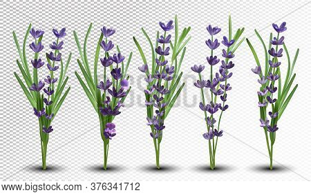 3d Realistic Fragrant Bunch Lavender. Bunch Beautiful Lavender On Transparent Background. Tender Vio