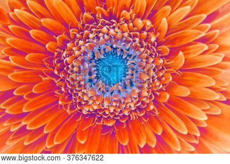 Saturation luminosity color. Gerbera flower closeup background.