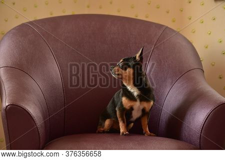 Chihuahua Dog In A Brown Armchair. Chihuahua On A Brown Sofa. A Black-brown-white Tricolor.