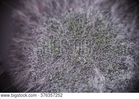 Macro Shot Of Mold. Mold Spores In Agar-agar. A Mold Or Mould Is A Fungus That Grows In The Form Of