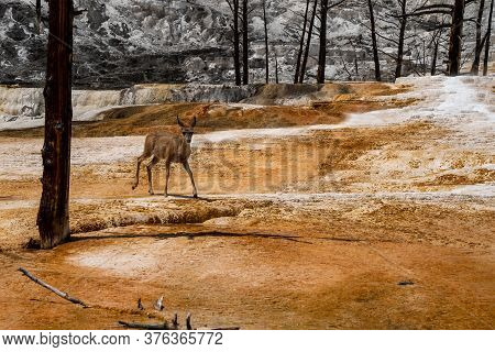 Graceful Deer Explores A Hot Spring And Terraces In Mammoth Hot Springs Area Of Yellowstone National