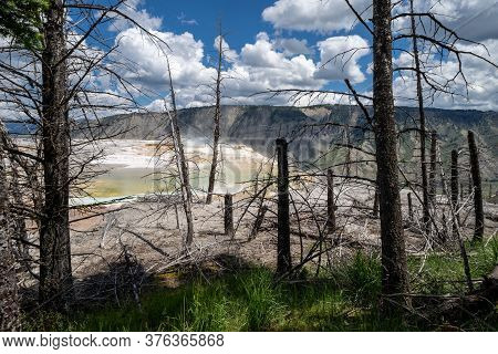 Dead And Petrified Trees In Front Of Canary Spring In Mammoth Hot Springs In Yellowstone National Pa