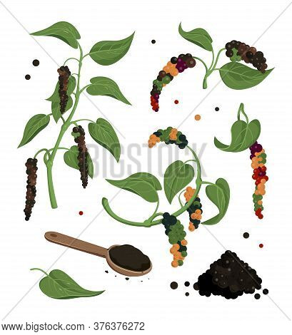 Black Pepper Plant With Leaves And Peppercorns, Isolated Icons. Botanical Illustration For Labels, P