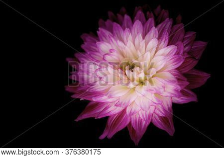Close-up Of Vibrant Pink And White Dahlia Flower On Dark Background. A Single Bright Dahlia Flower B