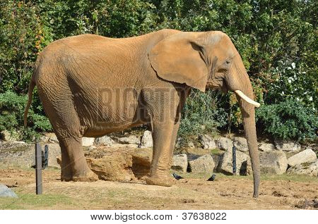 profile of large african elephant standing up poster