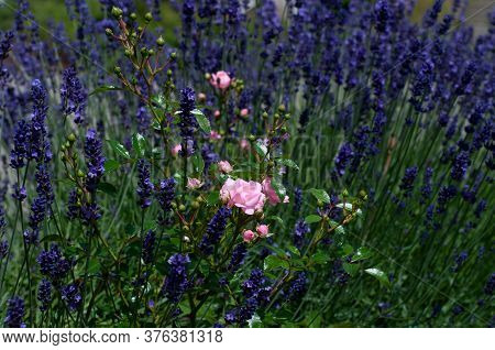 A Rose With Pink Petals In Flowerbed With Purple Lavender