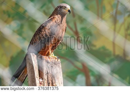 The Common Buzzard Bird Of Prey Sits On Branch In The Aviary. The Common Buzzard, Buteo Buteo, Is A