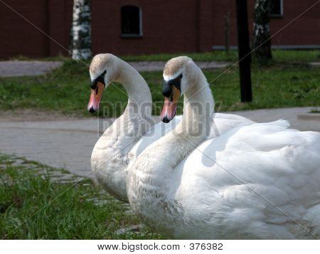 Couple Swans