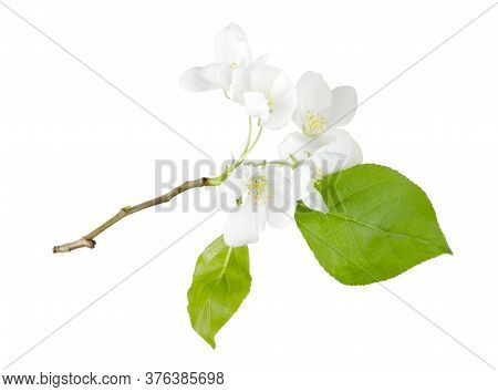Blooming Apple Branch With Flowers Isolated On White Background Without Shadow. Plant Branch For Pac