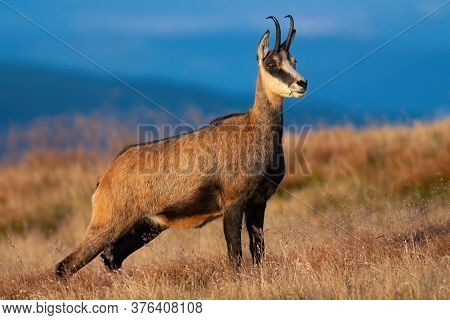 Tatra Chamois Standing On Mountains In Summer.