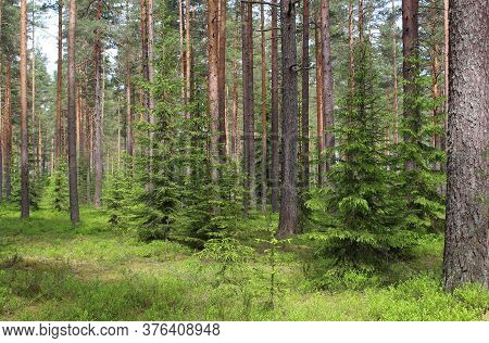 Green Forest With Fur-trees, Pine Trees, Green Blueberry Bushes And Grass In Summer