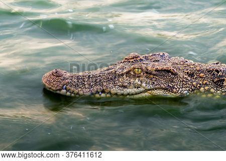 Wildlife Crocodile Floating On The Water And Waiting To Hunt An Animal In The River. Animal Wildlife