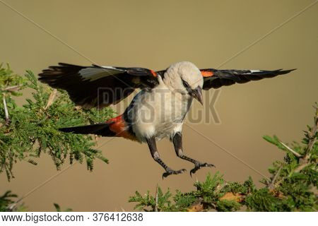 White-headed Buffalo Weaver Jumping Between Thorn Branches