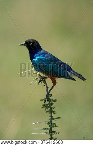 Superb Starling On Thornbush With Green Bokeh