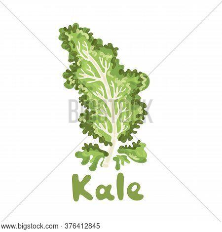 Vegetable Kale, Healthy Vector Colorful Food Vegetable Ingredient. Kale On White Background. Elegant