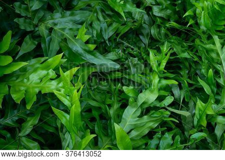 Top View Of Green Leaves Of Fern Bushes In Tropical Rain Forest. Wart Fern Of Hawaii. Phymatosorus G