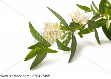 Myrtle Branch With Flower  Isolated On White