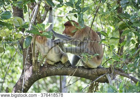 Nose-monkey In Borneo