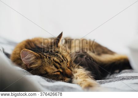 Cute Tabby Cat Sleeping On Comfortable Bed Among Pillows, Cozy Sweet Moment. Adorable Maine Coon Rel