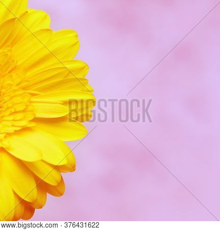Delicate Petals Of Yellow Gerbera Flower Close Up. Natural Flowery Background With Copy Space, Paste