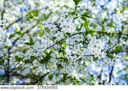 Spring Flowering Orchard, Blossom Garden Cherry Tree. Idyllic Natural Background Wallpaper Backdrop