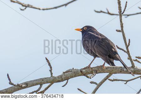 Blackbird Turdus Merula Perched On A Tree Branch