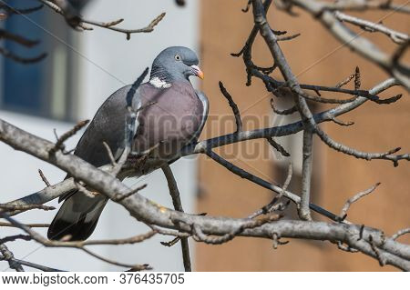 Wood Pigeon Columba Palumbus  Perched On A Tree Branch