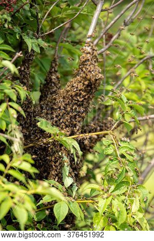 A Swarm Of Bees Settled And Gathered In The Shrubbery. Swarming Is A Natural Reproduction Behavior O