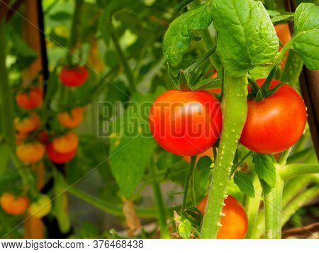 Selective Focus On Ripe Red Tomatoes On The Branches In The Greenhouse. Growing Organic Green Vegeta