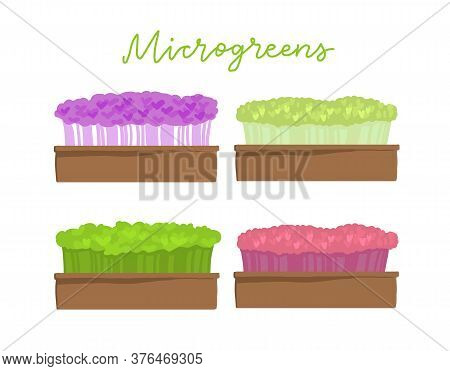 Microgreens Box. Different Kind Of Superfood. Growing Superfood At Home. Home Farming. Healthy Food.
