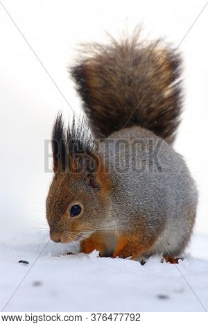 The Red Squirrel Or Eurasian Red Squirrel (sciurus Vulgaris) Sitting On The Snow. A Pretty Squirrel