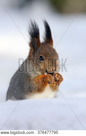 The Red Squirrel Or Eurasian Red Squirrel (sciurus Vulgaris) Sitting On The Snow. A Beautiful Squirr