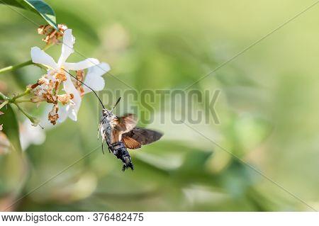 Hummingbird Hawk-moth On Flower. Macroglossum Stellatarum Hovering Over Flower While Preparing Its L