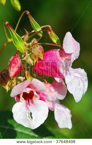 Indian balsam - Impatiens glandulifera royle