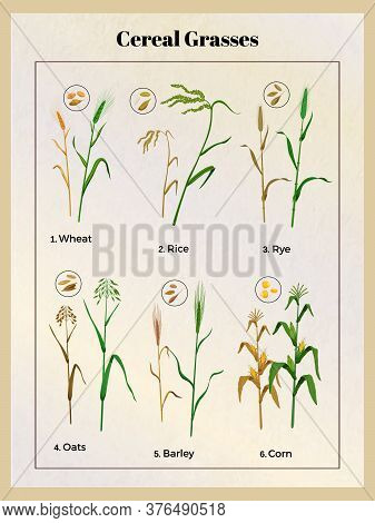 Cereal Grasses Vintage Poster With Wheat Oats Barley Rice Rye Corn Grain Seedlings And Seeds Vector