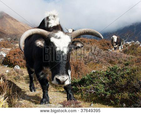 Yaks - bos grunniens or bos mutus - in Langtang valley - Nepal