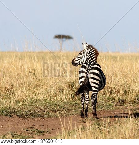 Pregnant plains zebra, equus quagga, on a well-trodden path in the Masai Mara. Summer shot with long red-oat grass and a lone acacia tree on the horizon.