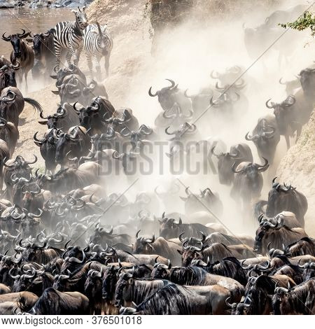 A herd of white-bearded wildebeest, Connochaetes taurinus, and two plains zebra, equus quagga, on the banks of the Mara river during the annual great migration. Masai Mara, Kenya.