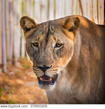Close Up Head Portrait Of Beautiful Lioness With Opened Mouth Looking At Camera