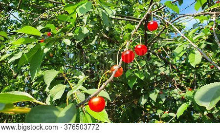 Cherry Tree. Ripening Red Cherries On The Tree Among The Leaves.