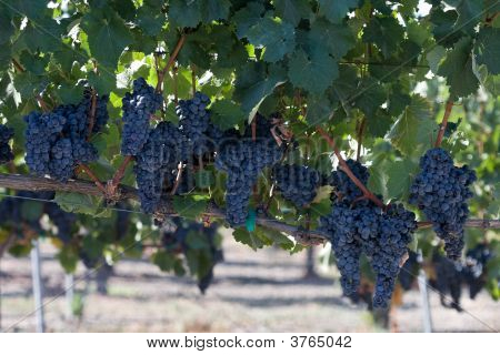 Blue Wine Grape Clusters In Vineyard